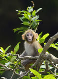 Baby Monkey. A cute baby monkey sitting in the branches of trees Royalty Free Stock Photography