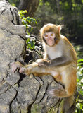 Baby Monkey. A cute baby monkey sitting on the rock Royalty Free Stock Image