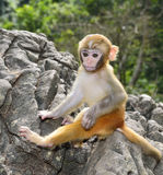 Baby Monkey. A cute baby monkey sitting on the rock Royalty Free Stock Photos