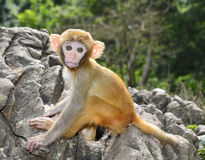 Baby Monkey. A cute baby monkey sitting on the rock Stock Photo