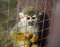 Baby Monkey. A cute baby monkey staring in the cage Royalty Free Stock Photo