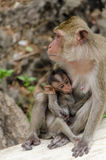 Baby monkey eating milk from mom Stock Images