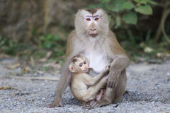 A Baby monkey eating milk from  mother Stock Photo