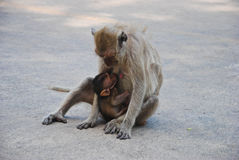 Baby monkey eating milk from mother Stock Images