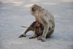 Baby monkey eating milk from mother. Cute baby monkey eating milk from mother Stock Photo