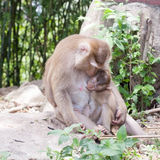 Baby monkey eating milk from the mother ,Monkey in Forest,phuket Stock Photography