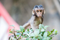 Baby monkey eating a peanut Royalty Free Stock Photo