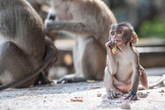 Baby monkey eating a peanut Stock Photos