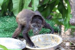 Baby monkey eating at the Zoo Royalty Free Stock Image