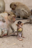 Baby monkey enjoy food with family Royalty Free Stock Photos