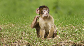 Baby Monkey Enjoying Scratch Royalty Free Stock Image