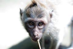 Baby monkey eyes staring Stock Photo