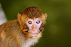 Baby monkey face Stock Image