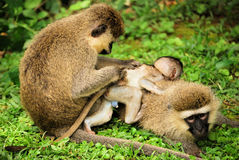 Baby Monkey with family. Baby vervet monkey in uganda east africa funny cute family Royalty Free Stock Images