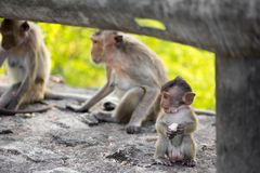 Baby monkey and Family Royalty Free Stock Image
