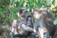 Baby Monkey With Family Stock Images