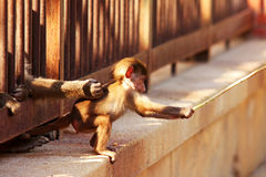 Baby Monkey fisherman. Baby monkey trying to catch food fishing Royalty Free Stock Photos