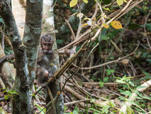 Baby Monkey in a Forest. A Baby Monkey eating a flower bulb in a forest in Penang, Malaysia Royalty Free Stock Photos