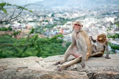 Baby monkey grooming for his mother near Galta Temple in Jaipur, India. Royalty Free Stock Photography