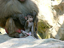 Baby monkey. A baby hamadryad monkey sitting in front of its parent in an open enclosure in the Singapore zoo Stock Image