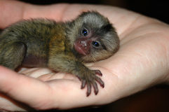 Baby monkey in hand Stock Photos