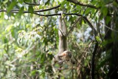 Baby monkey hanging on tree. In rainforest Royalty Free Stock Images