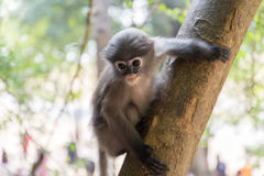 Baby monkey is hanging on the tree royalty free stock photography