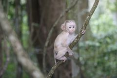 Baby monkey hanging on tree. In rainforest Royalty Free Stock Image