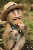 Baby monkey and hat. Pet little baby monkey and hat eating Royalty Free Stock Image