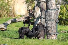 Baby monkey having fun in zoo in leipzig in germany. In summer stock image