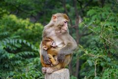 Baby monkey and her mother Stock Photo