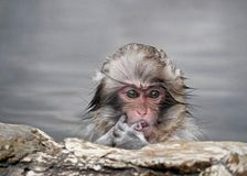 Japanese Baby Macaque in Hot Springs. stock images