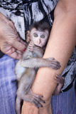 Baby monkey is huging human `s arm. royalty free stock photography