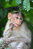 Baby Monkey In Alagarkoil Royalty Free Stock Image