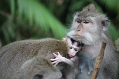Baby monkey with its mother Royalty Free Stock Image