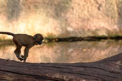 Baby Monkey Jumping in zoo in germany royalty free stock image