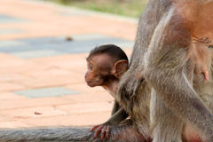 Baby monkey Stock Photography