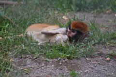 Baby monkey laying in the grass in captivity with red head. Baby monkey laying on the ground in captivity with red head and black eyebrows. Green grass and dirt stock photo