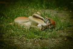 Baby monkey laying on the ground in captivity with red head. And black eyebrows. Green grass and dirt and pebble ground. Large eyes with yellow tones and tan royalty free stock images