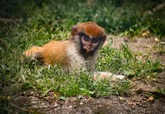 Baby monkey laying in the grass in captivity with red head. Baby monkey laying on the ground in captivity with red head and black eyebrows. Green grass and dirt royalty free stock photos