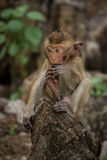 Baby monkey. Little Baby monkey in Thailand Stock Image