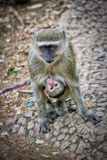 Monkey carrying her baby. Baby monkey looking at the camera while getting a free ride Royalty Free Stock Photography