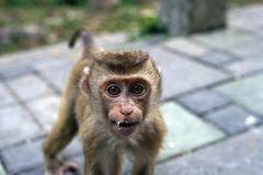 Baby monkey macaca fascicularis crazy portrait Royalty Free Stock Photography