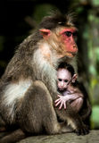 Baby monkey - Macacus mulatta also called the rhesus monkey Royalty Free Stock Image