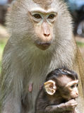 Baby Monkey with Mom Stock Images