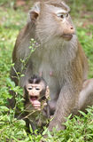 Baby Monkey with Mom. Baby monkey with mother in the wild royalty free stock photography