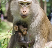 Baby Monkey with Mom Royalty Free Stock Photo