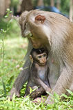 Baby Monkey with Mom. Baby monkey with mother in the wild royalty free stock photos