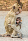 Baby Monkey and Mom. Nurture between mom and baby Royalty Free Stock Photography