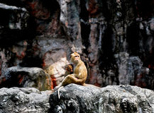 Baby monkey with mother Royalty Free Stock Images